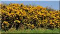 J4075 : Whin bushes near Craigantlet hill, Belfast by Albert Bridge