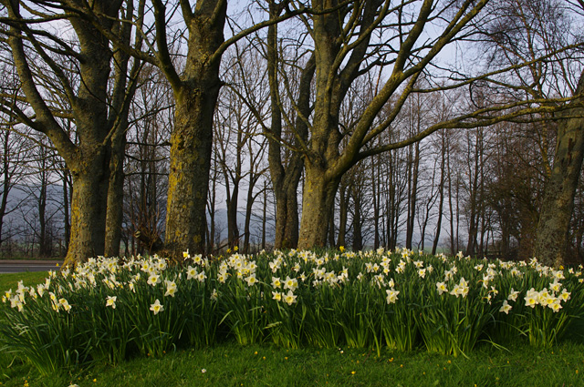 Daffodils by the A683