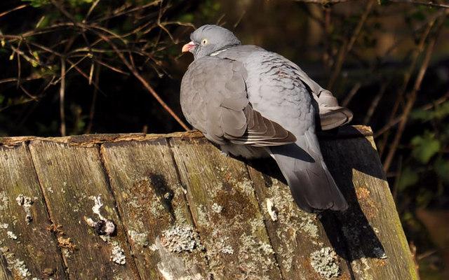 Wood pigeon, Kiltonga, Newtownards