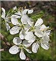 NT2376 : Blackthorn (Prunus spinosa) by Anne Burgess