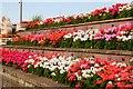 NZ3767 : Geraniums in raised flowerbeds by Steve Daniels
