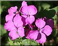 NT2274 : Honesty (Lunaria annua) by Anne Burgess