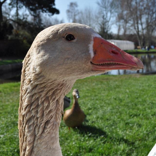 Fradley Junction wildlife: Can I have food please?