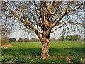 TQ1775 : Tree in Old Deer Park by Paul Gillett