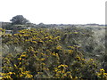 TA4010 : Gorse on Spurn Point by Peter Barr