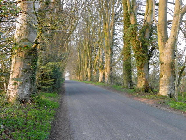 Beech trees near Middle Chase Farm
