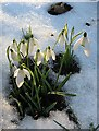 NT4936 : Snowdrops and snow by Walter Baxter