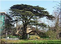 TQ2274 : Cedar, Highcliffe Drive by Stephen Richards