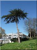 TQ2274 : Tree, Roehampton Lane by Stephen Richards