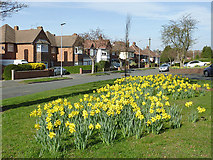 "SO9096 : Daffodils on the ""Royal"" estate in Penn, Wolverhampton by Roger  Kidd"