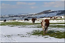 SK2076 : Cattle in snowy meadow between Foolow and Eyam by Neil Theasby