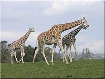 W7871 : A family of giraffes at Fota Wildlife Park by Hywel Williams