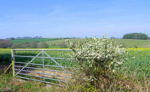 Oilseed rape, Lodge Farm
