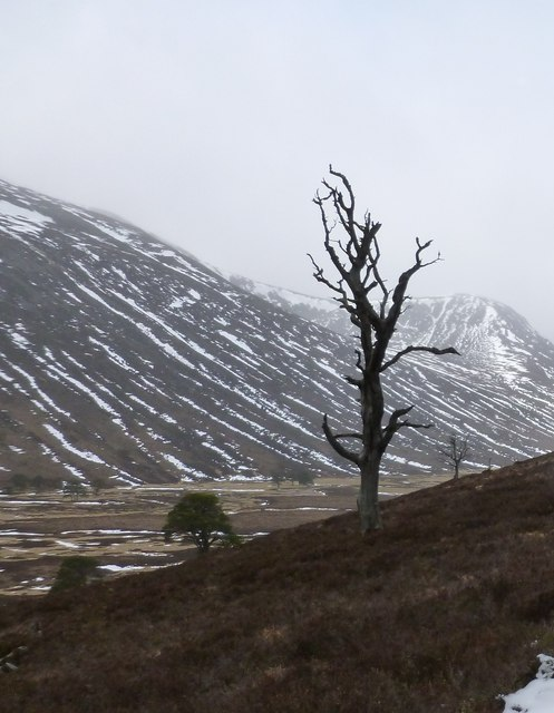 Dead tree on slopes on the east side of Glen Derry