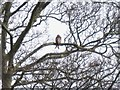 SP7501 : Red Kite in a tree by Richard Dorrell