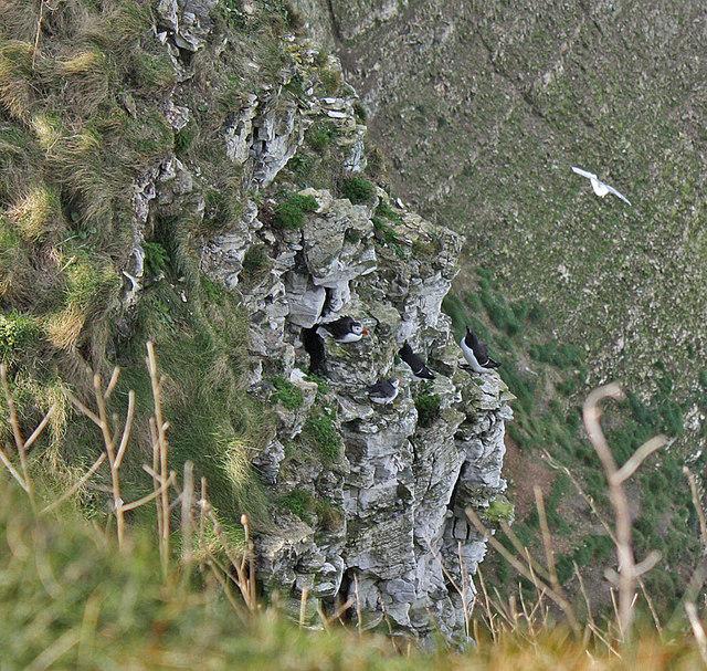 Puffins on Bempton Cliffs