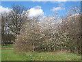 SK3686 : Norfolk Park: hawthorn blossom by Stephen Craven