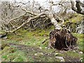 NR9270 : Uprooted tree, Glenan Forest Nature Reserve by Oliver Dixon