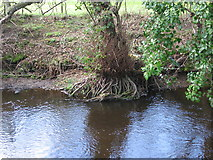 SK2890 : Alder roots in the river Loxley by Rudi Winter