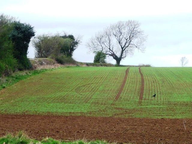 Emerging crop alongside Bramham Lane