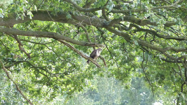 Buzzard On The Shropshire Union Canal