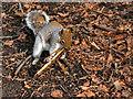 SD8204 : Squirrel at Heaton Park by David Dixon