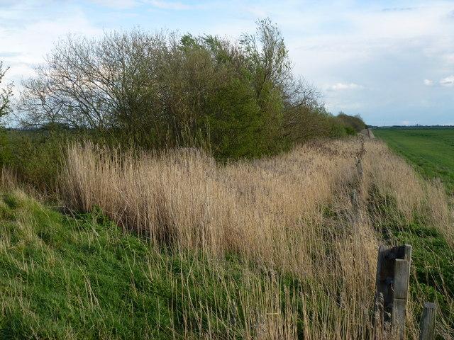 Overgrown former railway line, Queen's Bank near Cowbit