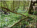 TQ9961 : Beginning of the bluebells in Bysing Wood, Faversham by pam fray