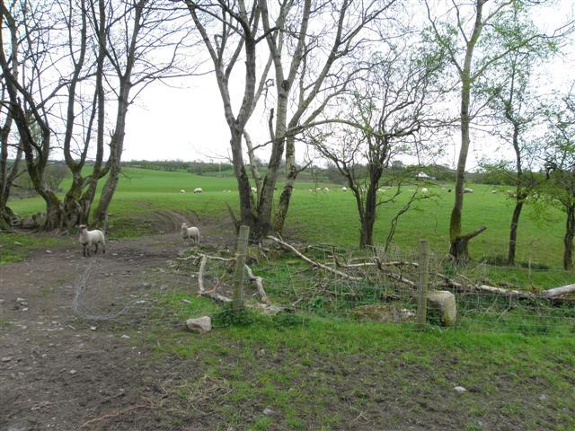 Trees and sheep, Bancran