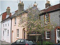 TQ4210 : Magnolia tree at South Street by Oast House Archive