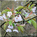 SP9910 : Wild Cherry Flowers by Roger Jones