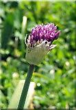 TQ3289 : Ornamental Flower by Christine Westerback
