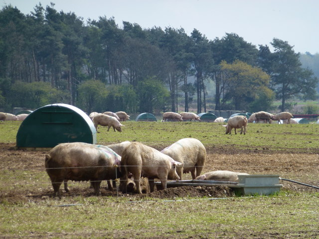 Fat sows near White Woman's Plantation
