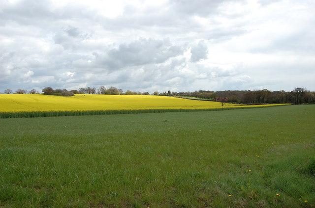 Oilseed Rape fields near High Halden