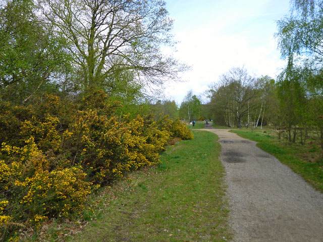 Gorse by the path
