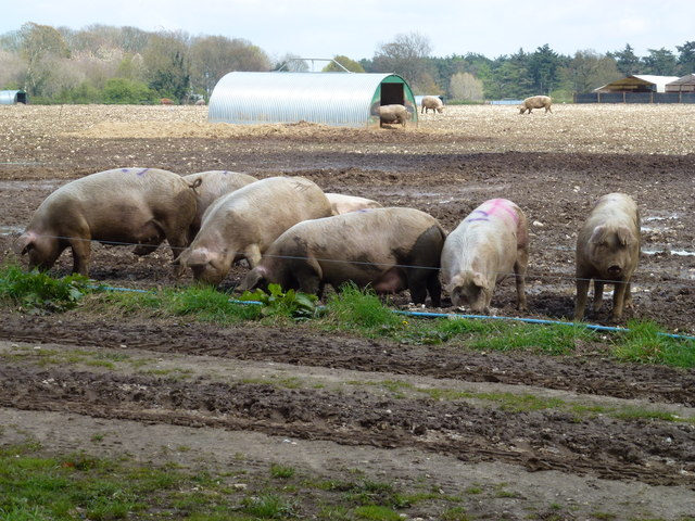 Mucky pigs near Polish Plantation
