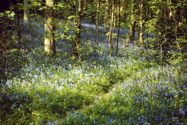 Bluebells, Greendene