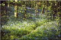 TQ0950 : Bluebells, Greendene by Colin Smith