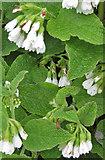 SE7365 : Comfrey plants by Pauline E