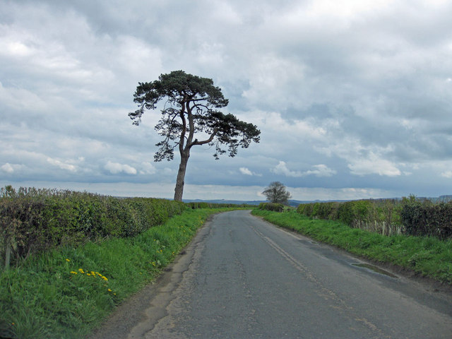 Lone pine tree on the road to Eddlethorpe