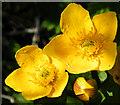 NM4099 : Marsh Marigold (Caltha palustris) by Anne Burgess