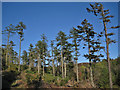NG2549 : Pine trees and a cloudless sky by Richard Dorrell