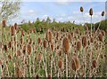 SP2755 : Teasels in the flood meadow by David P Howard