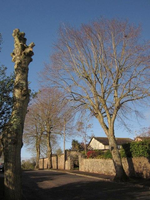 Pollarded and unpollarded limes, Parkhurst Road, Torquay
