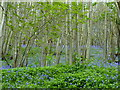 TQ9961 : Beech trees and bluebells, Bysing Wood by pam fray