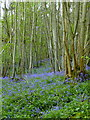 TQ9961 : Bysing Wood bluebells by pam fray