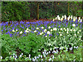 ST9701 : Spring Bulbs, Kingston Lacy, Dorset by Christine Matthews