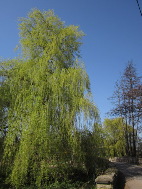 Willow, South Stainley