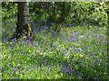 NR8687 : Bluebells by Kilmory Road by Patrick Mackie