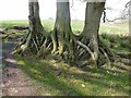 NY5965 : Tree roots, Wall Burn by Oliver Dixon
